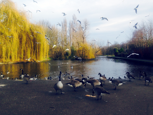 20151218 photo6- ducks at Ilford Lane entrance